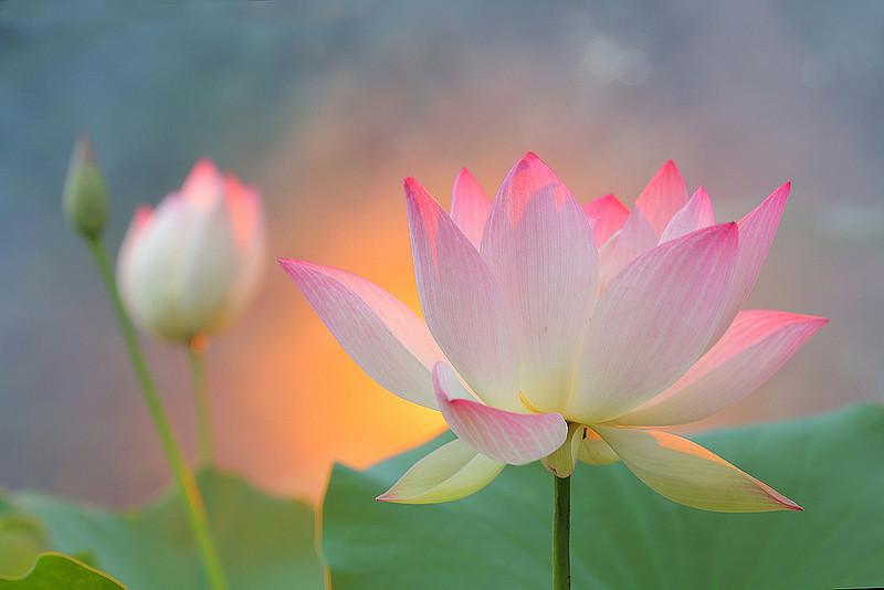 Sunshine Lotus Made With Gimp And Photoshop Maf04