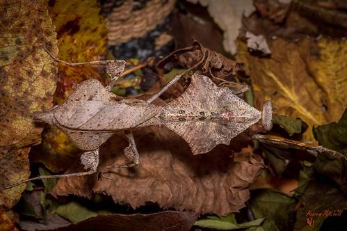 Deroplatys lobata (Malaysian Dead Leaf Mantis) - Adult