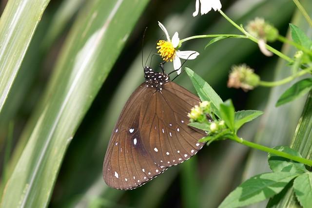 斯氏紫斑蝶。圖片來源:玉山國家公園管理處提供