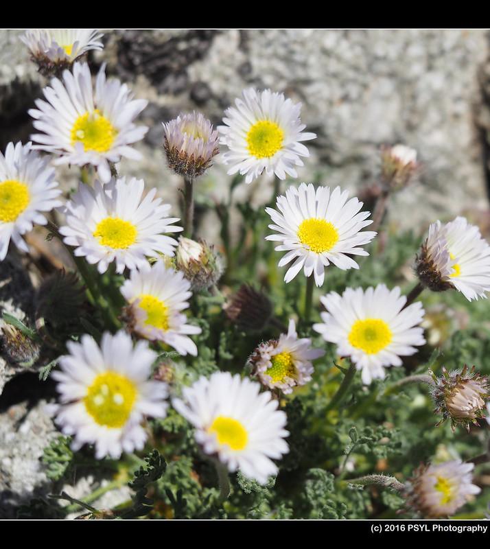 Fleabane (Erigeron sp.)