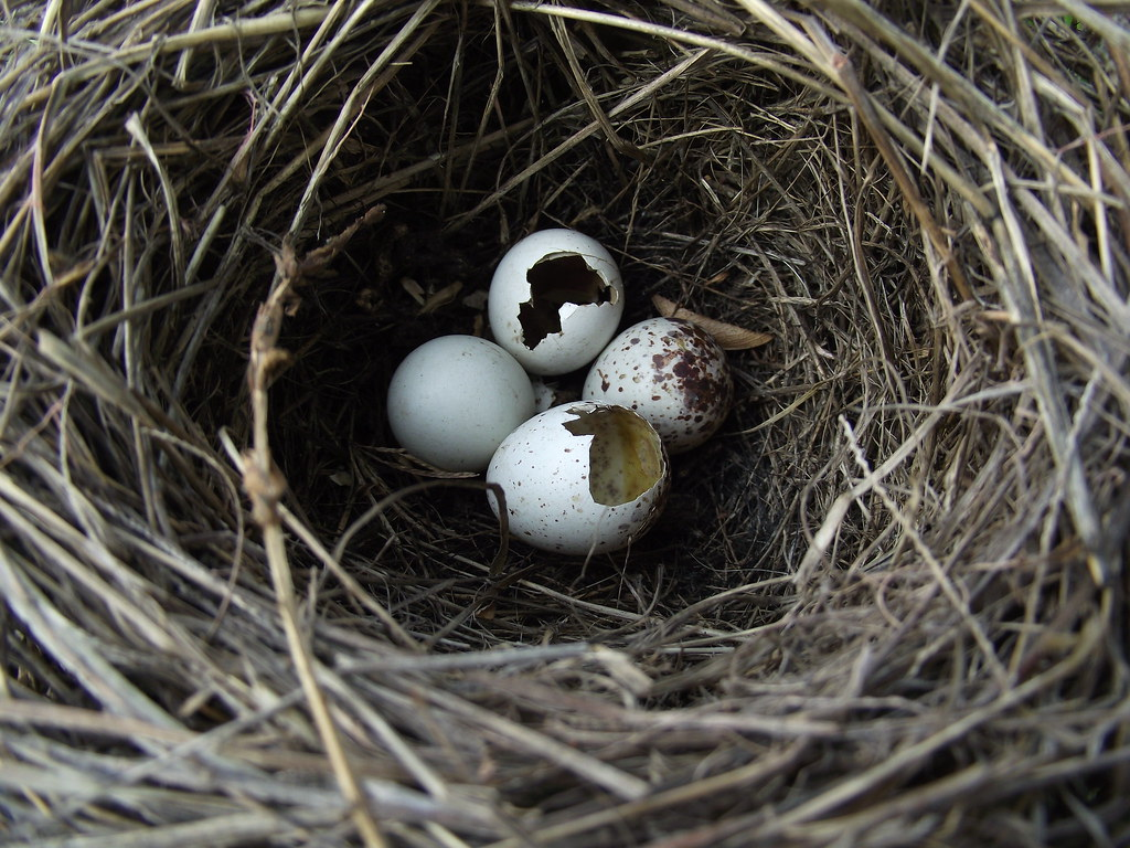 Nest predation | Depredated Canyon towhee nest. Unspoted ...