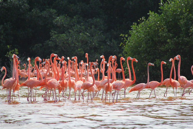 Flamingos, Celestún