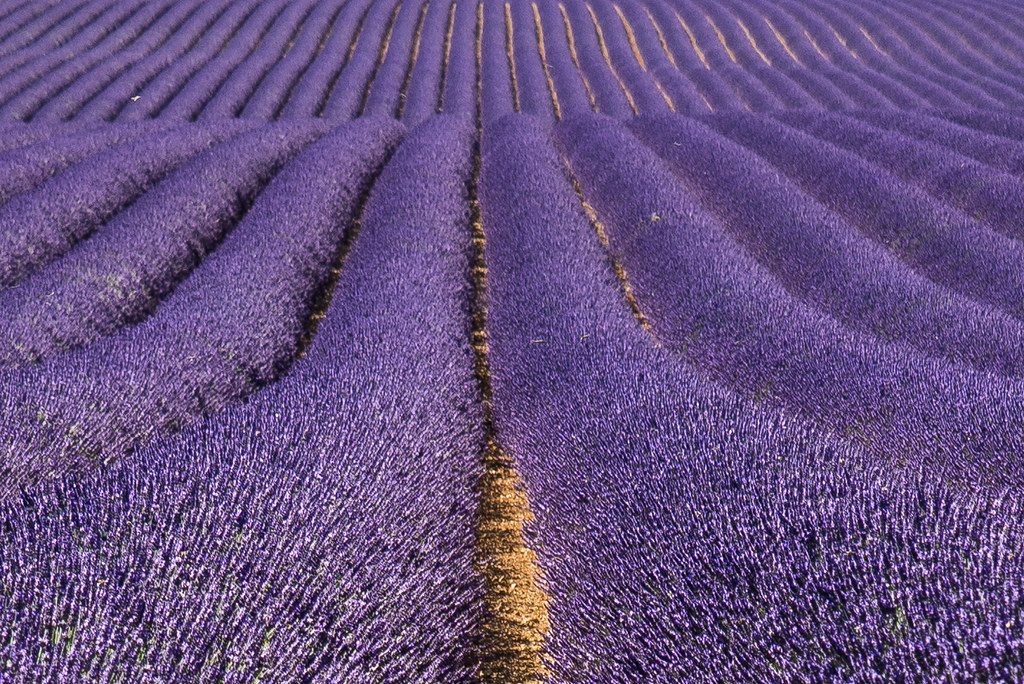 Purple lavenderfall
