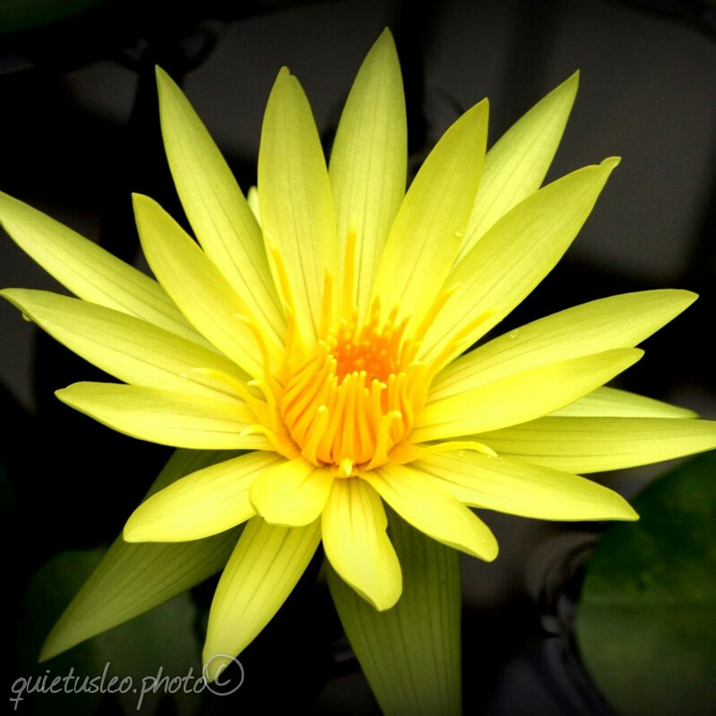 yellow water lily flower - photo #21
