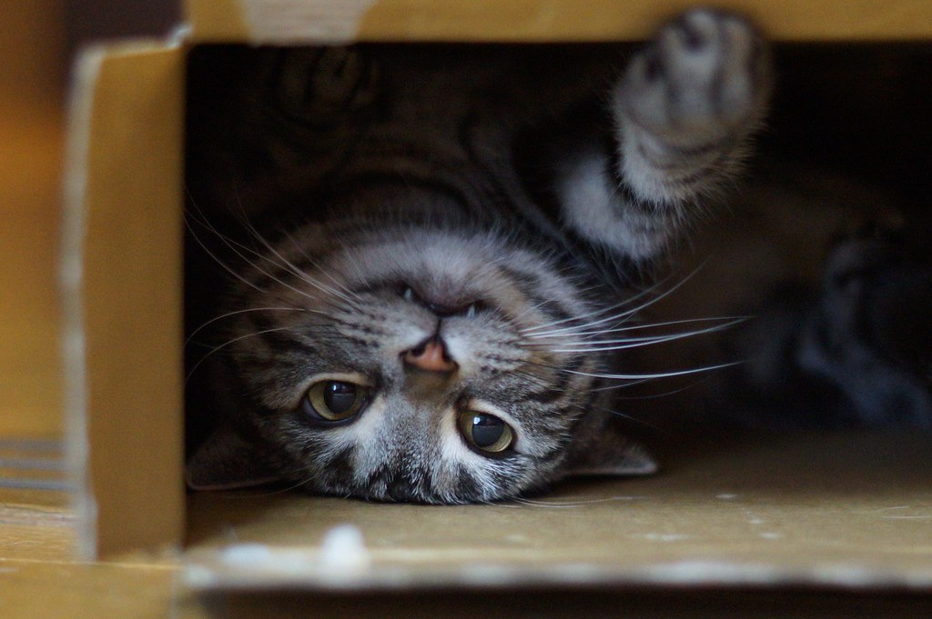 International Cat Day  Near Extint Species