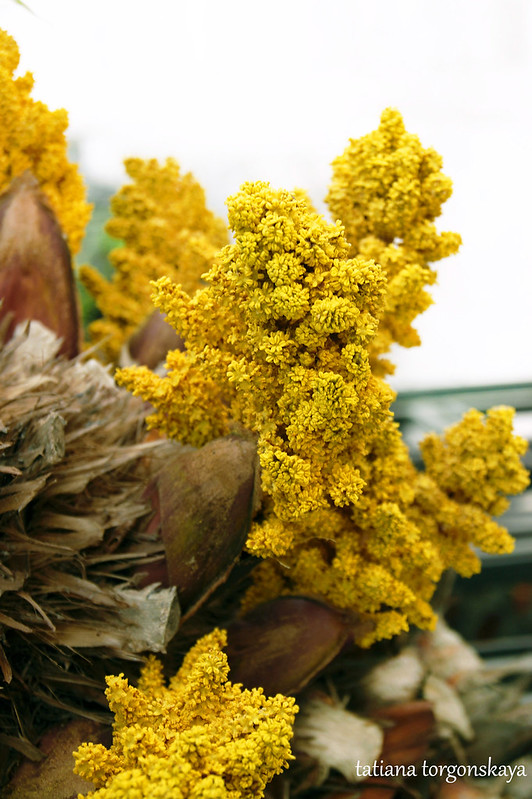 Цветение пальмы трахикарпус