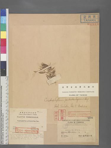 五角金魚藻是館內保存最古老的臺灣植物標本,該物種可能已在臺北盆地消失。圖片來源:林試所提供