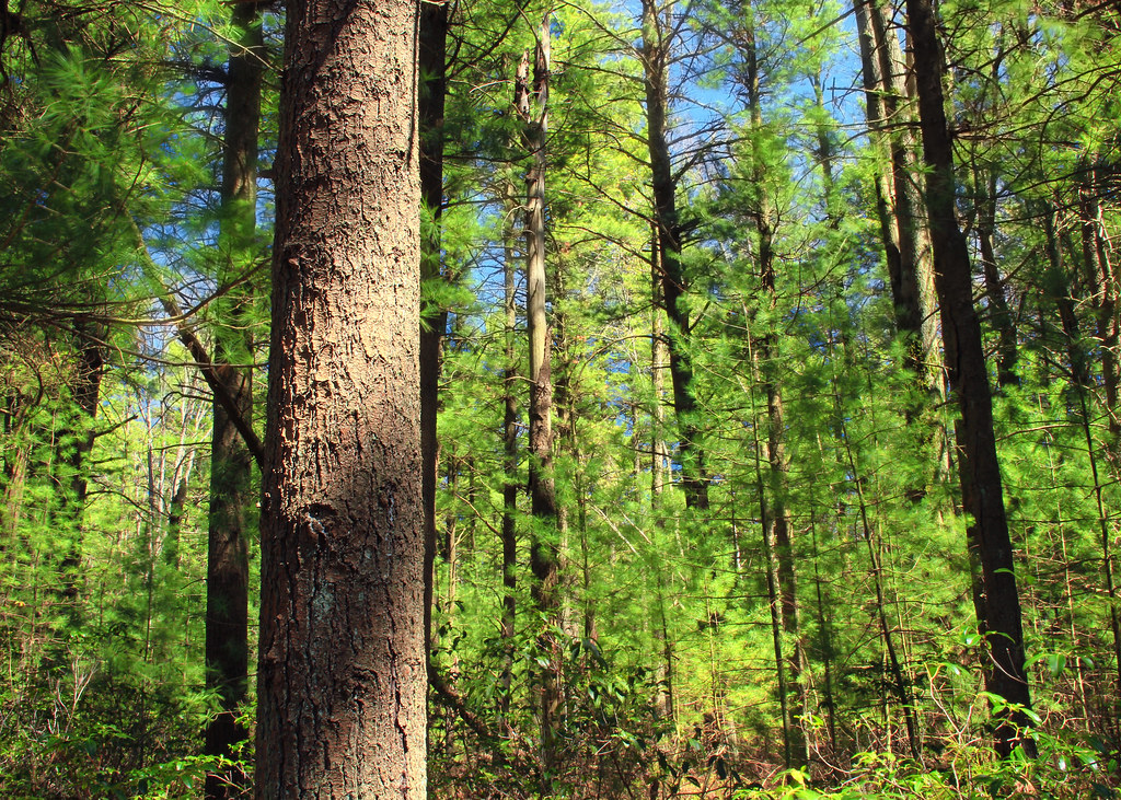 Pine Swamp (1) | White pines within the Pine Swamp tract ...