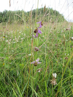 Bee orchid in the meadow