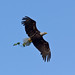 Bald Eagle In-flight
