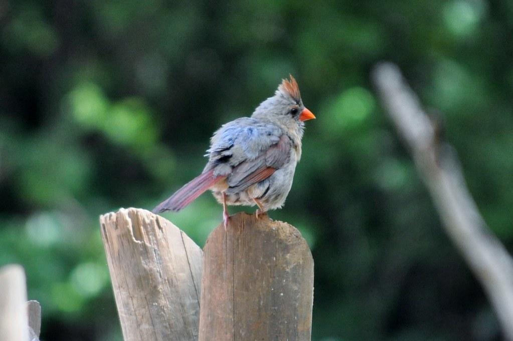 zoo atlanta female cardinal her peek a boo kid randa2e flickr. Black Bedroom Furniture Sets. Home Design Ideas