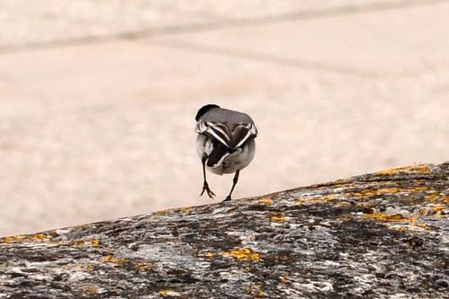Auch in Blois ist die Loire nach den starken Regenfällen noch stark angeschwollen. Wir entdecken eine Bachstelze, die die Französischen den hübschen Namen Bergeronnette trägt. Ein sehr zartes, scheues Vögelchen, das man mit der Kamera meist nur im Fortstreben bzw. von hinten erwischt. Foto: Brigitte Stolle Juni 2016
