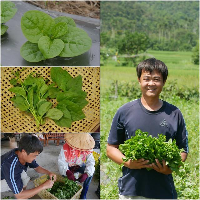 落葵在夏秋季生長快速,是優良的夏季蔬菜。圖片來源:花蓮農改場