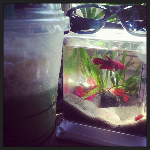 College life nah it 39 s betta life bettafish fish fi for Betta fish life span