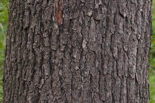 Prunus serotina, bark ... Prunus Serotina Bark