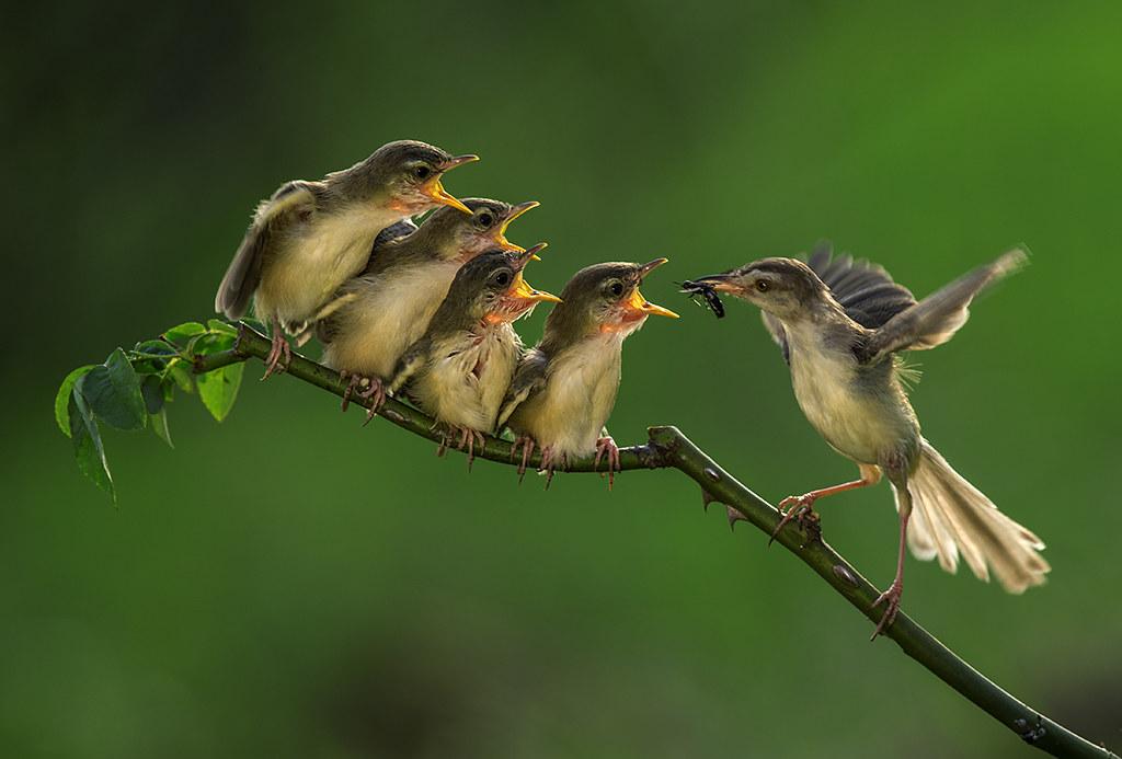 Cara Melatih Burung Ciblek Gacor