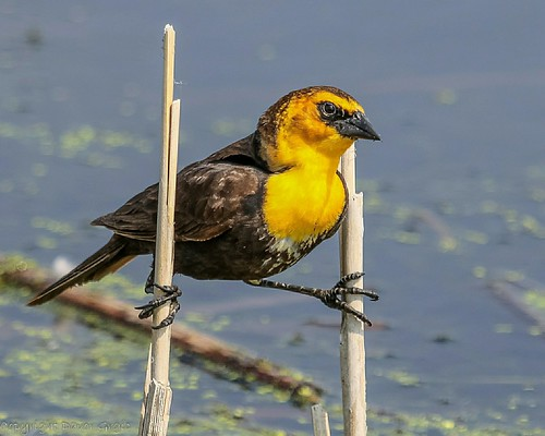 Yellow headed blackbird | by Dgrgic