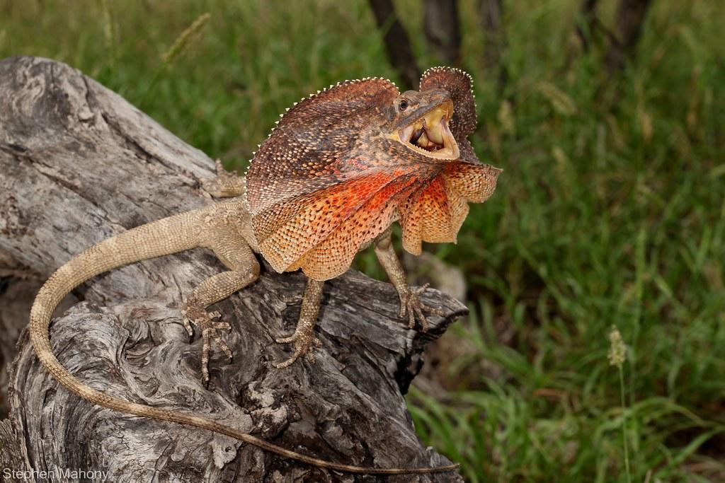 エリマキトカゲの画像 p1_25