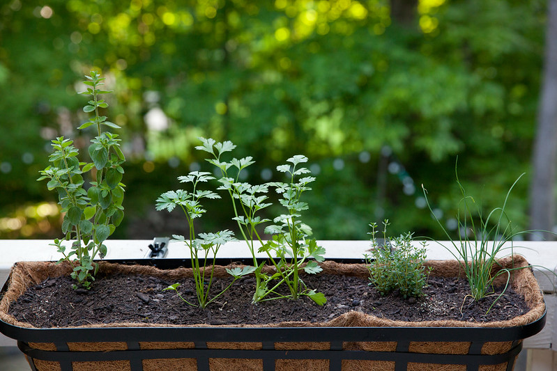 Growing Fresh Herbs: A Cook's Best Friend