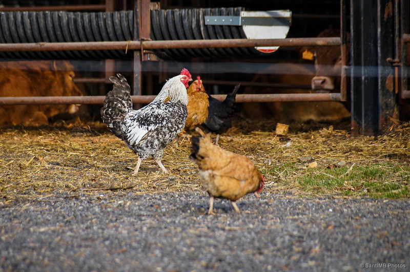 Un gallo controlando sus gallinas