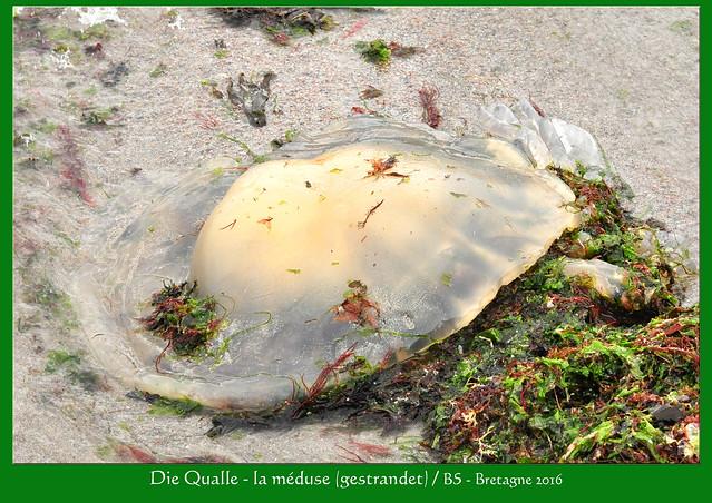 Bretagne-Urlaub 2016: Atlantik - Ebbe und Flut - Qualle - la Méduse - Foto: Brigitte Stolle 2016