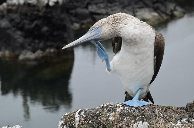 Piquero de patas azules (Islas Galápagos, Ecuador)