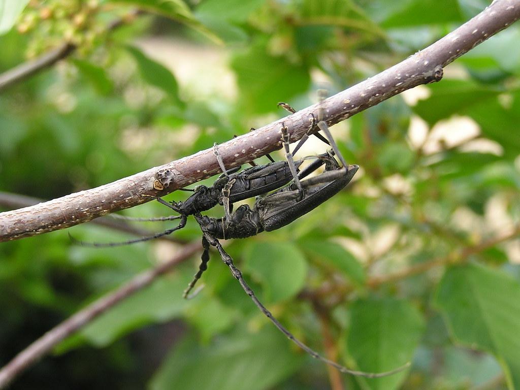 Beetle Reproduction Capricorn reproduction...