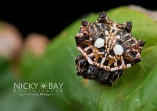 Spiny Back Orb Weaver (Thelacantha brevispina) - DSC_7353
