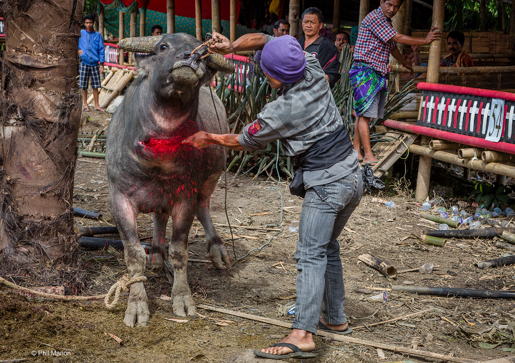 Gruesome water buffalo sacrifice at a Toraja funeral cerem…  Flickr