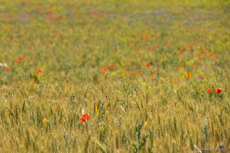 Colores del campo de cereal de detrás de la fuente
