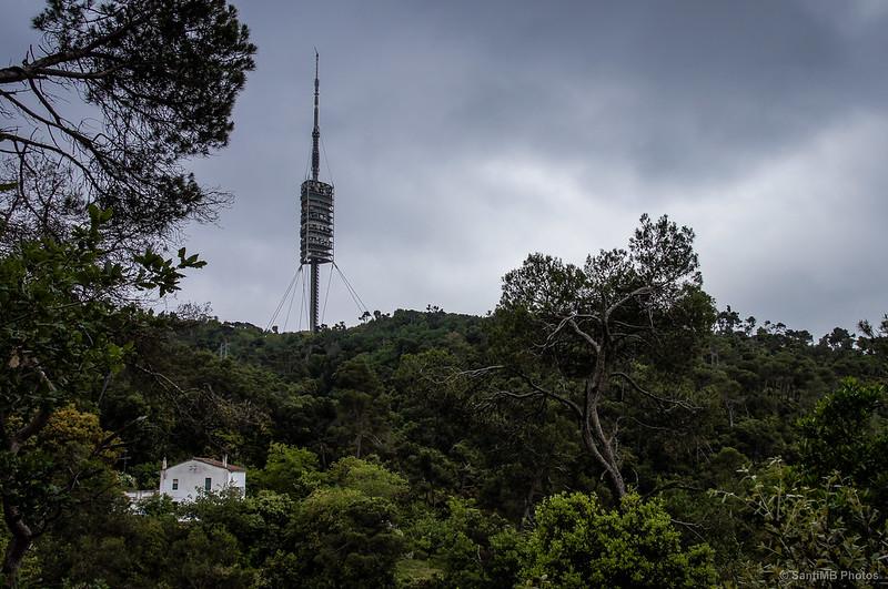 Un pino quiere ser tan alto como la Torre de Collserola