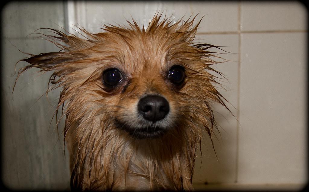 Boo the Pomeranian | A wet not so happy Boo. | CWhatPhotos ...