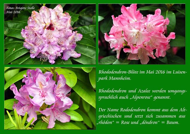 """Mai 2016 Rhododendron-Blüte im Luisenpark Mannheim - Rhododendron und Azalee werden umgangssprachlich auch """"Alpenrose"""" genannt. Der Name Rhododendron kommt aus dem Altgriechischen und setzt sich zusammen aus """"rhódon"""" = Rose und """"déndron"""" = Baum_Foto: Brigitte Stolle Mannheim"""