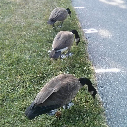 Canada geese feeding, 4 #toronto #lakeontario #marilynbellpark #birds #canadagoose