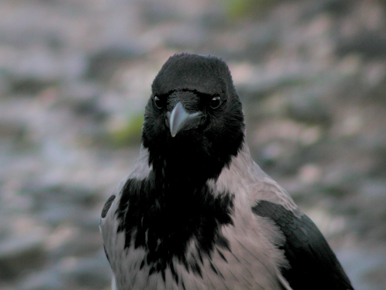 Hooded Crow_061206. | by Eugene Archer