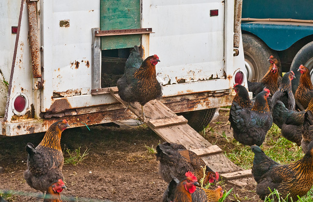 Laying hens freely enter and exit discarded horse trailers