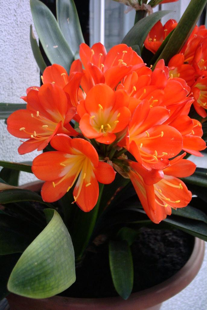 CLIVIA (Clivia cyrtanthiflora)