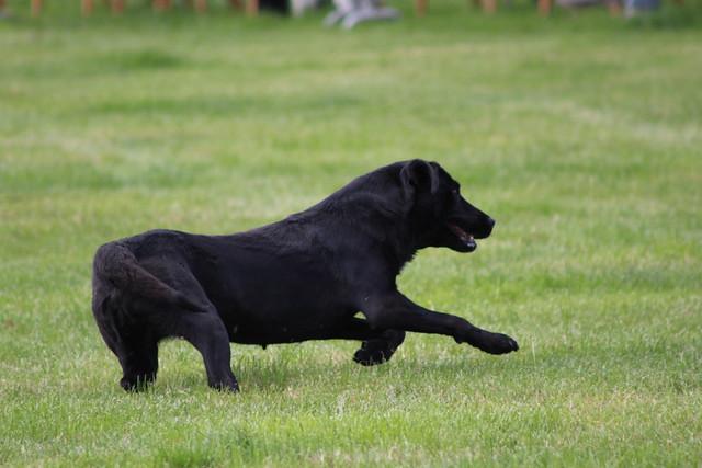 Eccleshall Dog Show