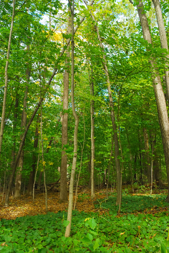 Beech Maple Forest ~ Forest renak polak maple beech woods wisconsin state