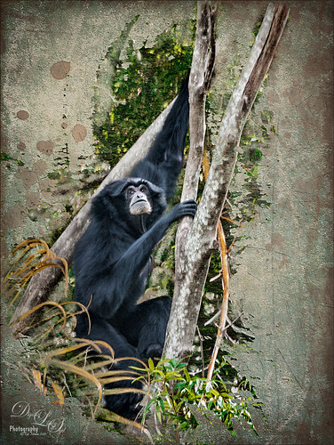 Siamang Ape at the West Palm Beach Zoo