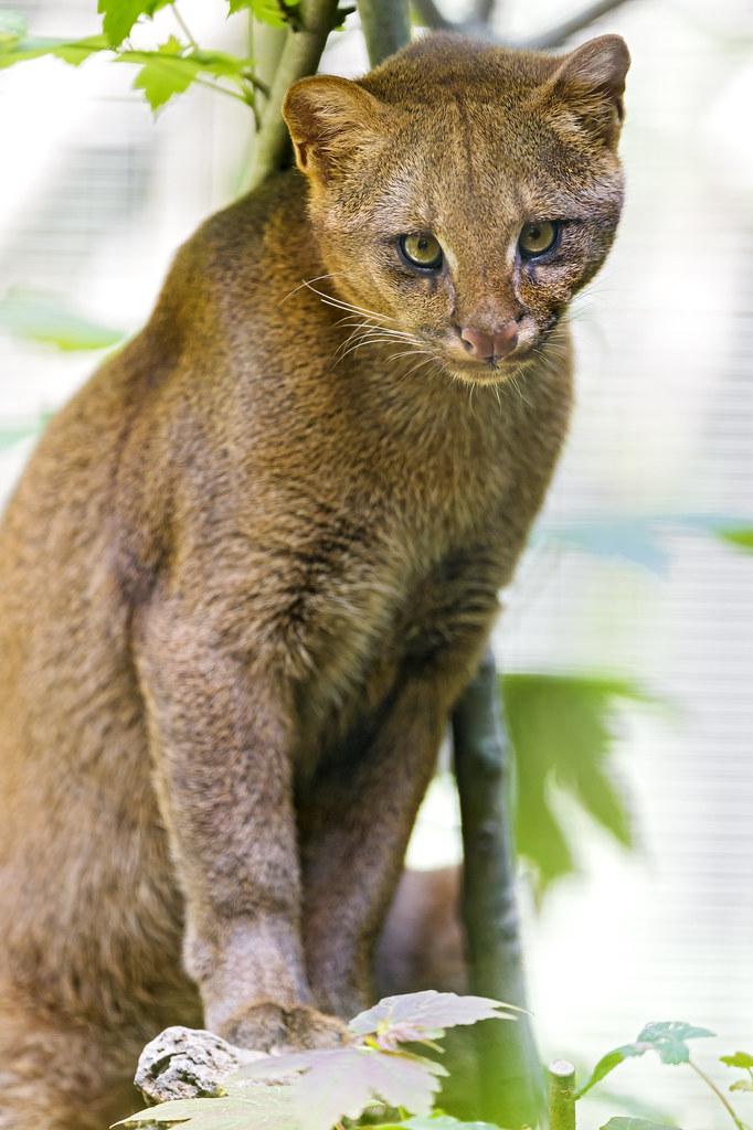 What Is A Jaguar >> Cute posing jaguarundi | I was quite happy that this jaguaru… | Flickr
