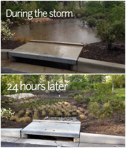 A bioretention garden draining 24-hours after a storm