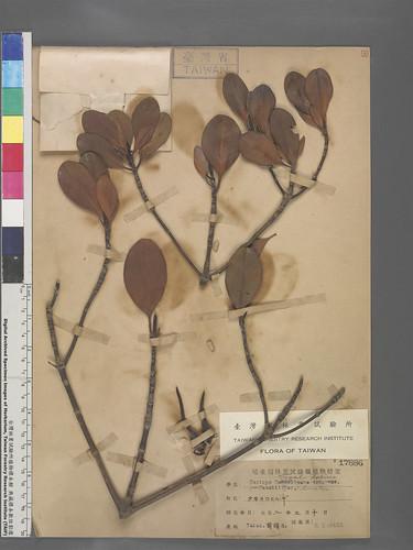 曾經分布於高雄港的細蕊紅樹,已經於臺灣滅絕,幸留存標本見證當時的環境。圖片來源:林試所提供