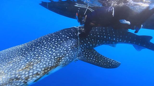 鯨鯊要回家(圖片來源:公共電視我們的島)