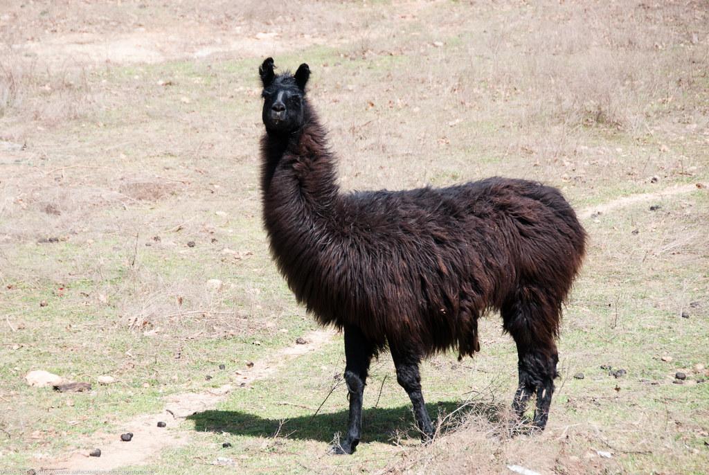 Tony The Black Llama Www Safecreative Org Work