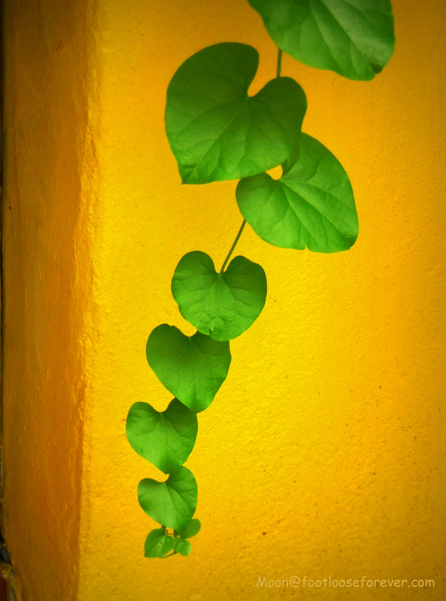 green leaves, green vine, yellow wall, minimalist photography