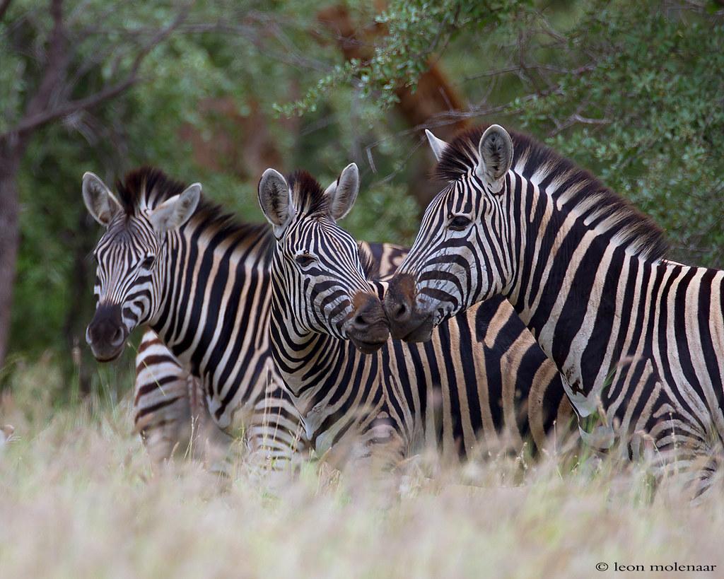 zebra wildlife south africa - HD1024×819