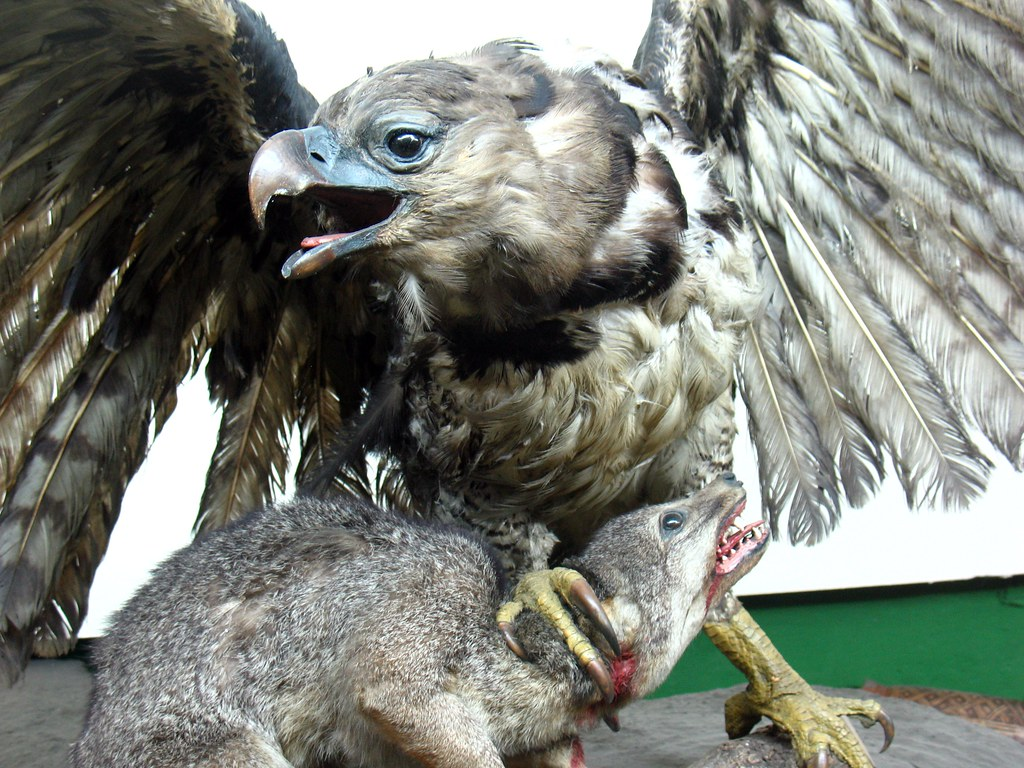 Harpy eagle hunting monkey - photo#46