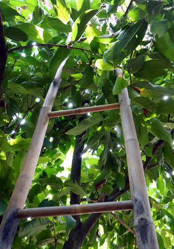 Bamboo Ladder in a Mekong Delta Orchard