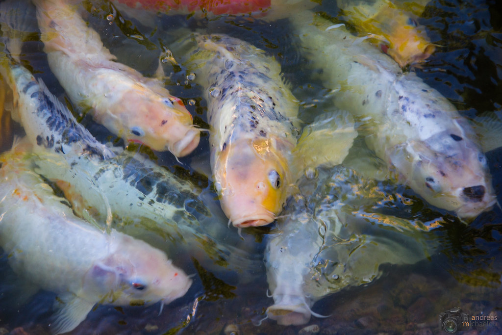 Koi fish koi fish at capobay hotel koi varieties are for Koi carp varieties